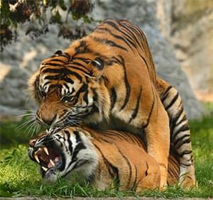Modra tabletka pomaga preživeti tigrom